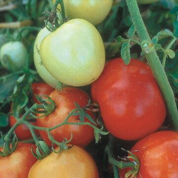 Tomates - Precocibec