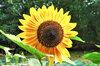 Tournesols à Fleurs - Selma Sun