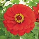 Zinnias - Scarlet Flame