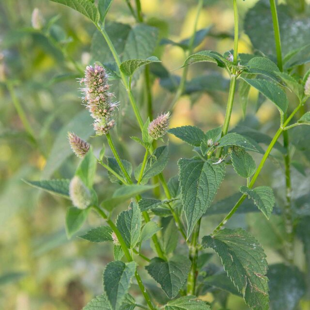 Agastaches - Agastache scrophulariafoliae
