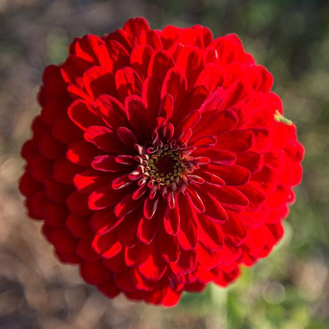 Zinnias - Red Scarlet