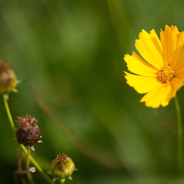 Coreopsis - Coreopsis grandiflora