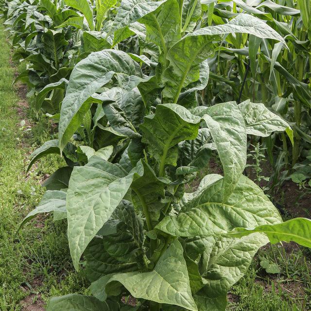 Tabacs - Banana Leaf