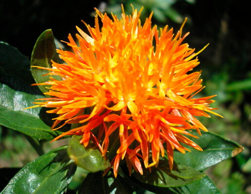 Carthames - Orange Grenade