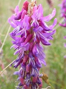 Astragalus - Astragalus bisulcatus