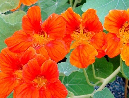 Capucines - Orange Gleam