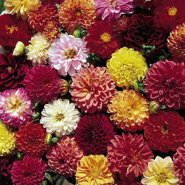 Dahlias - Double Extreme