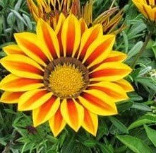 Gazania - Big Kiss Yellow Flames