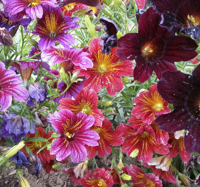 Salpiglossis - Painted Tongue Royal Mix