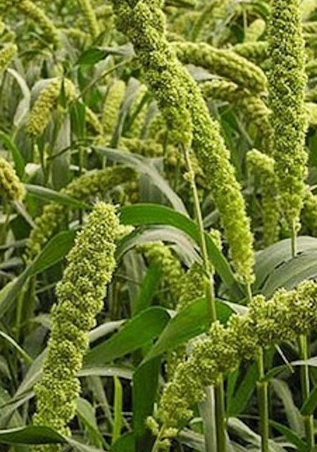 Millets - Lime Spray