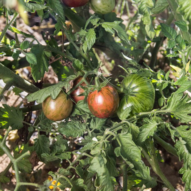 Tomates-Cerises - Purple Bumble Bee
