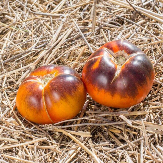 Tomates - Lucid Gem