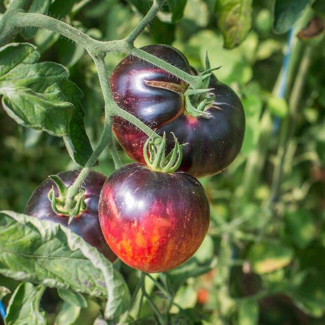 Tomates - Persuasion