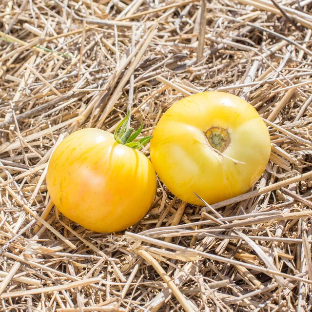 Tomates - Blonde Boar