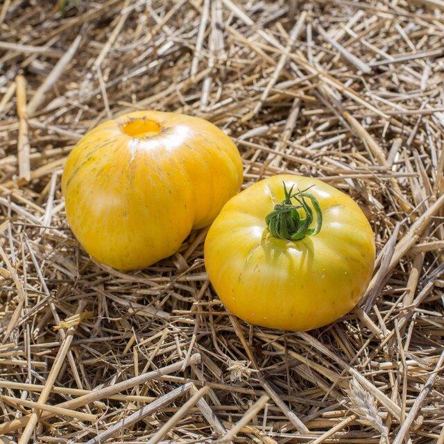 Tomates - Pineapple Pig