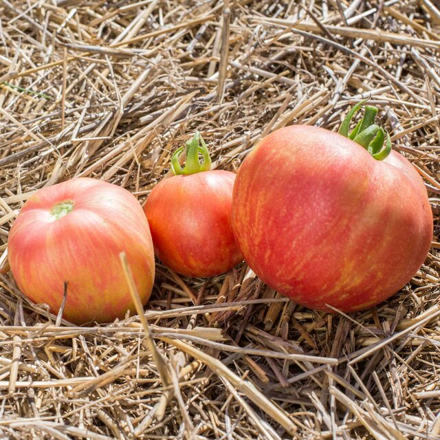 Tomates - Pink Furry Boar