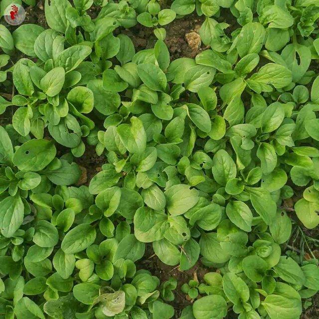 Légumes-Feuilles - Doucette d'Alger