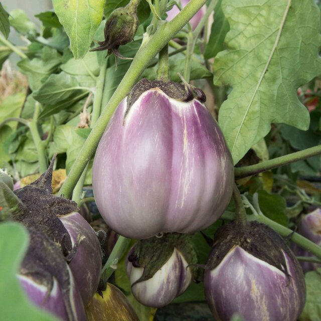 Aubergines - Violette Pâle de Florence