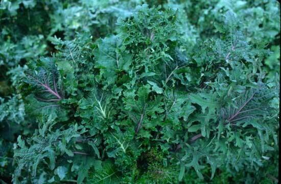 Choux Frisés / Kales - Wild Garden Kale Mix
