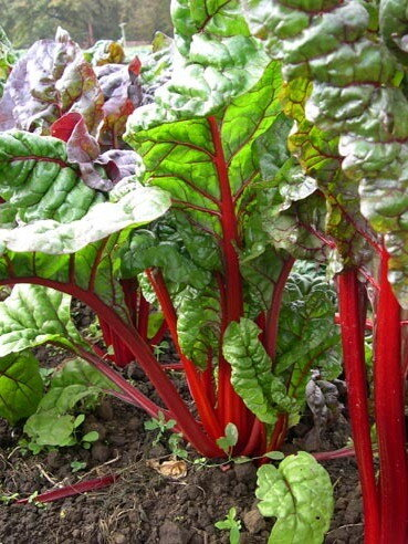 Côtes de Blette - À Cardes Rouges / Red Rhubarb