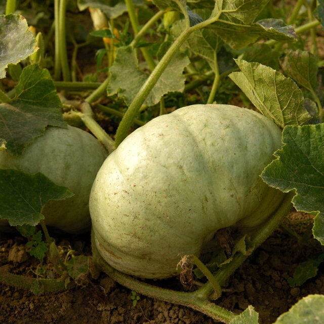 Courges Maxima - Sweet Meat