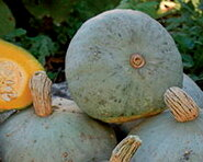 Courges Maxima - Silver Bell