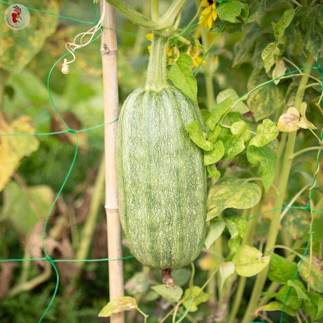 Courgettes - Tabergmouzt du Maroc