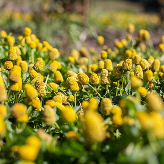 Cressons de Pará - Lemon Drops
