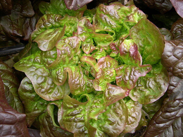 Laitues - Blushed Butter Oak