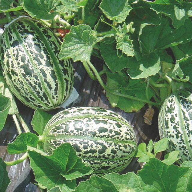 Melons - De Lunéville