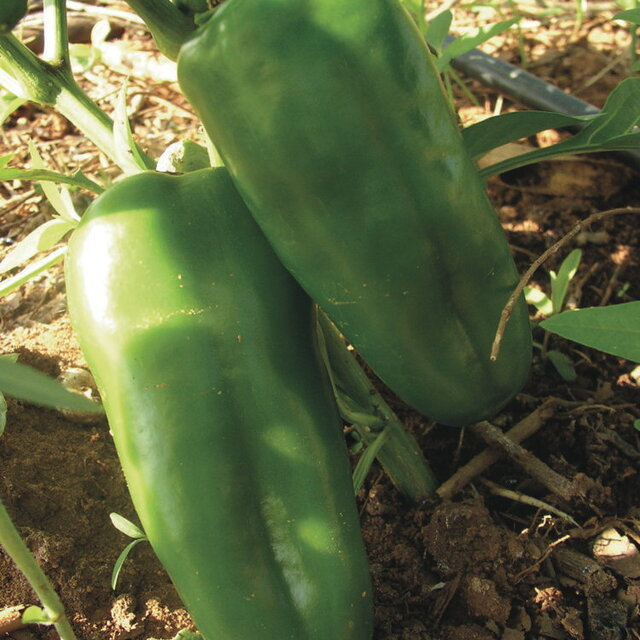 Piments/Poivrons - Chinese Giant