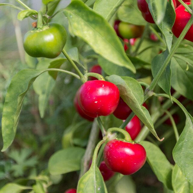 Piments/Poivrons - Miniature Red Bell