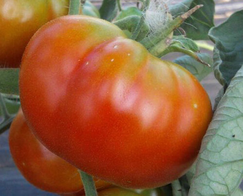 Tomates - Chalk's Early Jewel