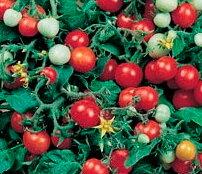 Tomates-Cerises - Red Robin