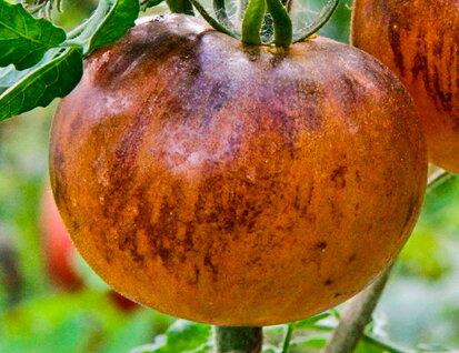 Tomates-Cerises - Pansy Ap