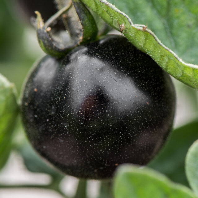 Tomates - Jl Midnight Select
