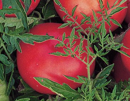 Tomates - Silvery Fir Tree / Serebristaya El