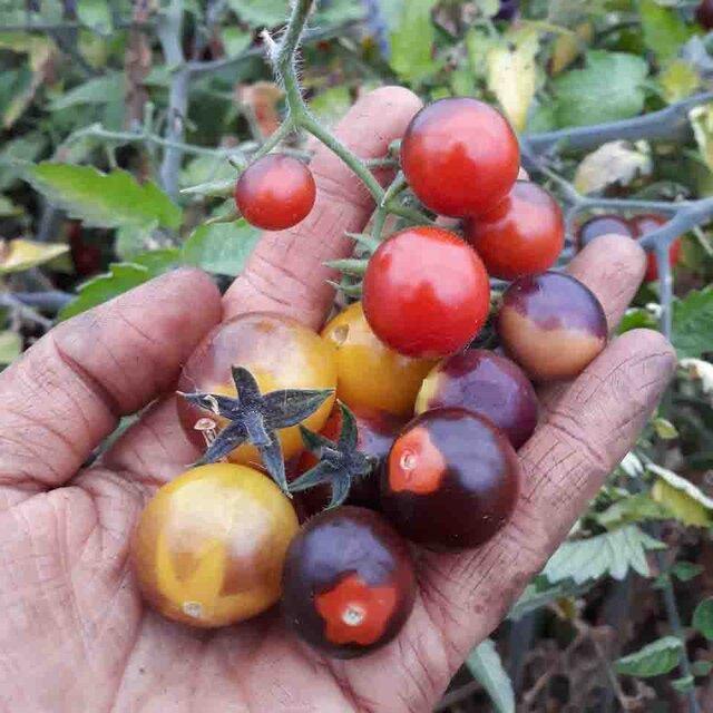 Tomates-Cerises - Blue Berries