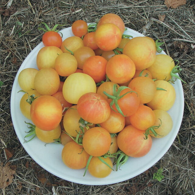 Tomates-Cerises - Cherry Ghost