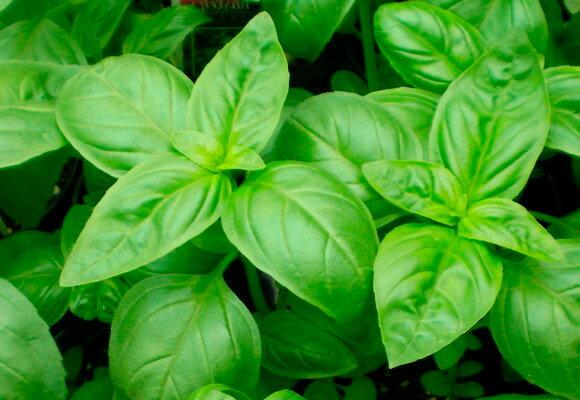 Basilics - Vert de Gênes