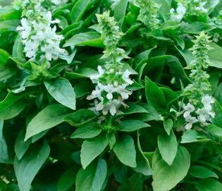 Basilics - Floral Spires Blanc