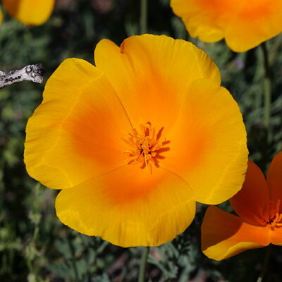 Coquelicots de Californie - Orange