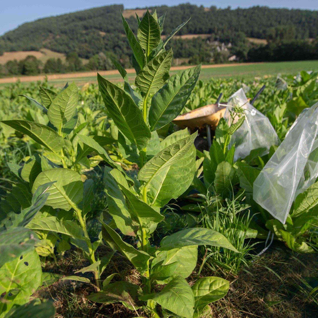 Tabacs - Black Sea Samsun