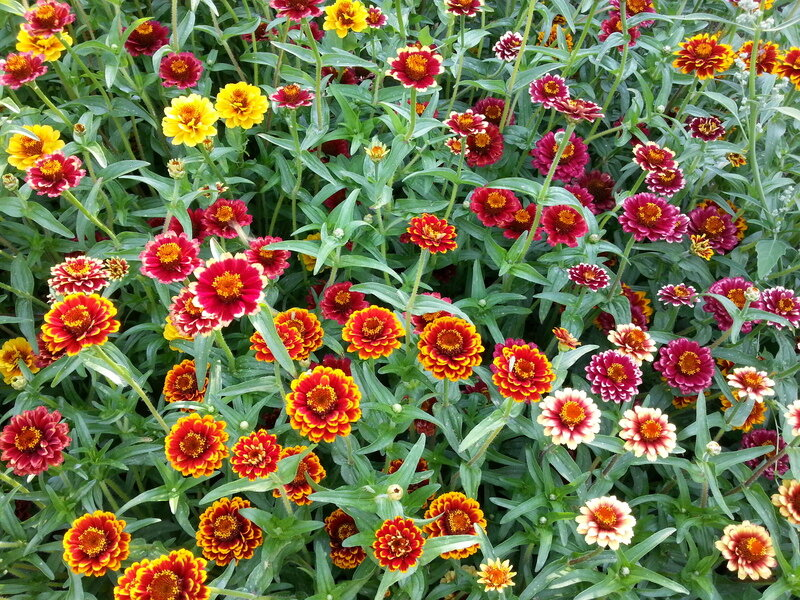 Zinnias - Aztec Sunset