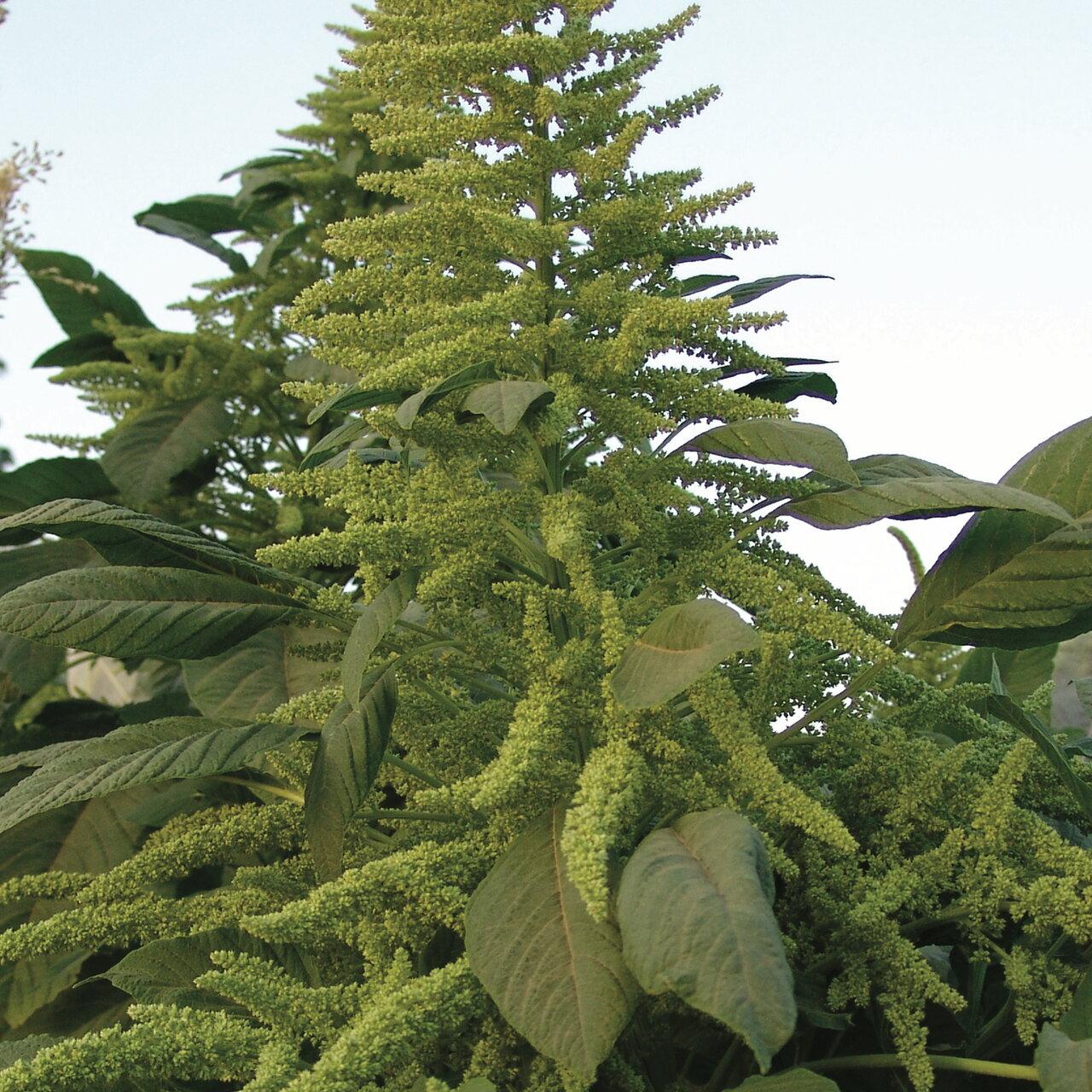 Amaranthes à Grains - Guatemalan
