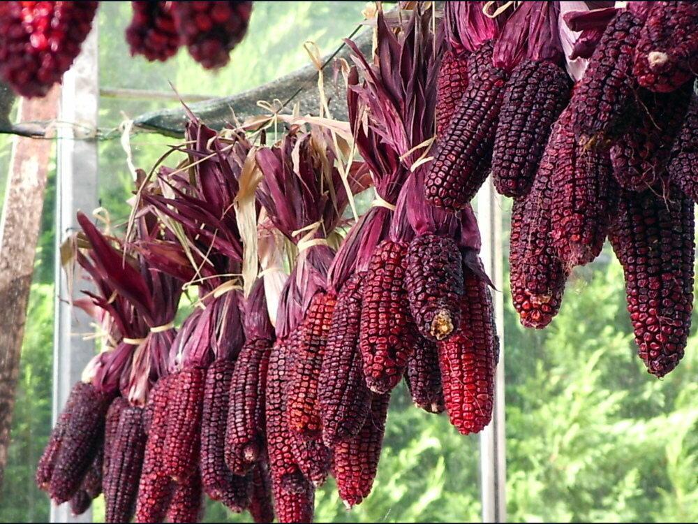 Maïs - Martian Purple