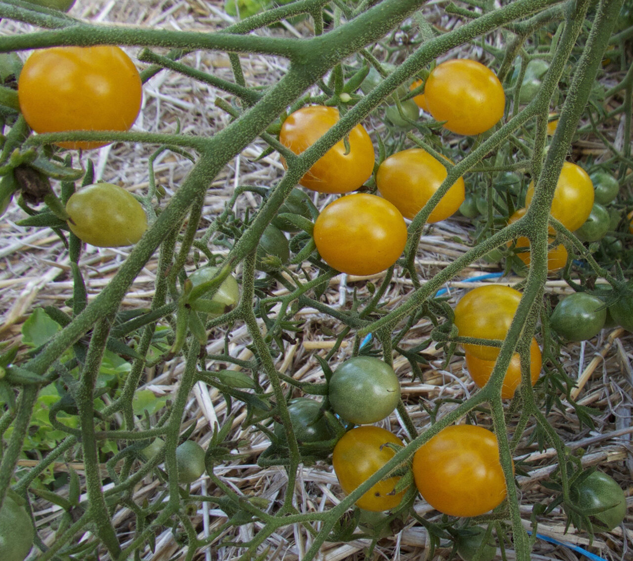 Tomates-Cerises - Orange Grape Tress