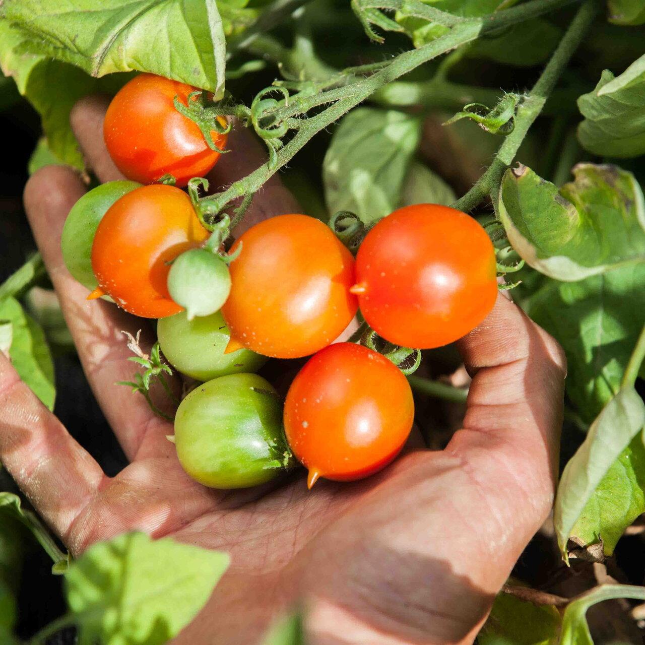 Tomates-Cerises - Piennolo Del Vesuvio
