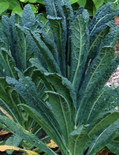 Choux Frisés / Kales - Old Growth Palm