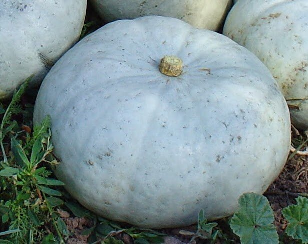Courges Maxima - Stella Blue